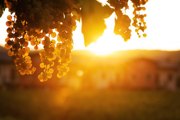 grape at sunset