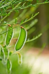 Besenginster Detail, Frucht