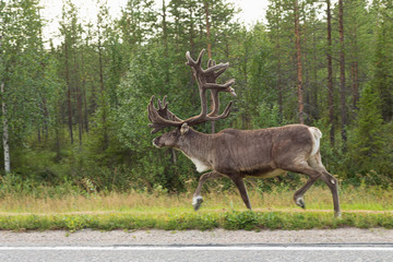Caribou on street in finland