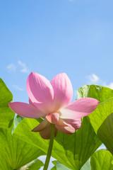 蓮の花と青空