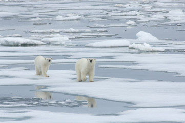 Polar Bear with Yearling Cub