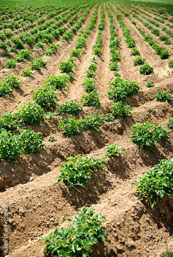 canvas print picture Rows of Green Plants Growing in Farm Field
