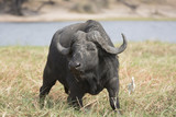 Portrait of a lone african buffalo bull