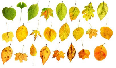 autumn leaves green to yellow