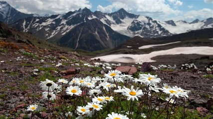 camomile in the mountains