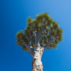 dragon tree on blue sky