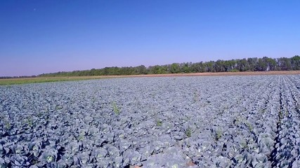 aerial cabbage field
