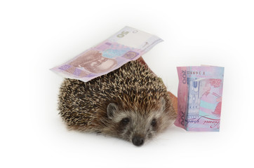 hedgehog with money on a white background