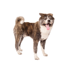 Akita Inu isolated on white