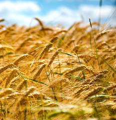 Ripening wheat against a blue sky