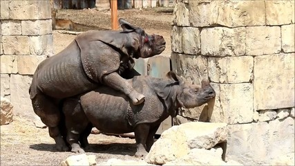 Two rhinos copulating, male on female