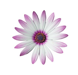 white and pink daisy on white