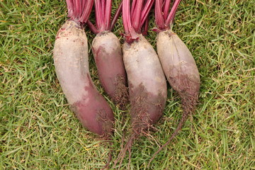 Washed beets from a garden-bed on the green grass