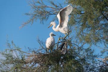 Seidenreiher,  Little egret, Egretta garzetta