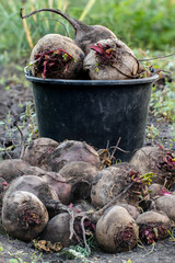 harvested beets against the background of the bucket