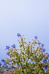 Borage plants - Useful as alternative medicine