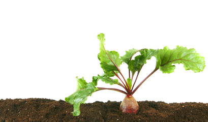 Harvesting. A beet in the earth.
