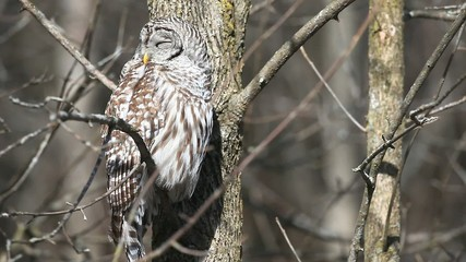 A Barred Owl, Strix varia, resting