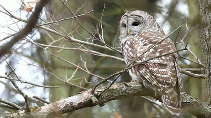 A Barred Owl, Strix varia, in a tree