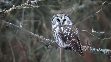 Boreal Owl, Aegolius funereus