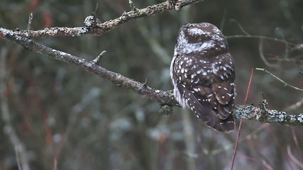 A Boreal Owl, Aegolius funereus, a small owl of Northern woods