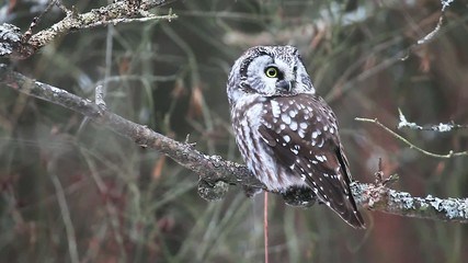 A Boreal Owl, Aegolius funereus, a rare owl of Northern woods