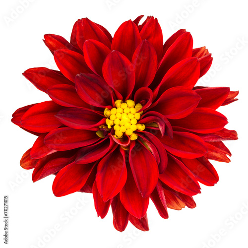 Foto op Canvas Dahlia Red dahlia flower on white