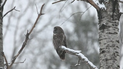 A Great Gray Owl, Strix nebulosa, in winter in Algonquin in Onta