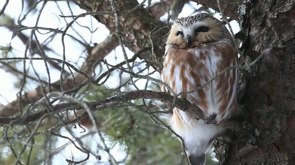 A Northern Saw-whet Owl, Aegolius acadicus