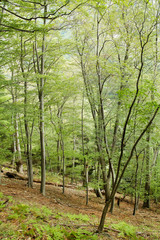 Virgin young forest