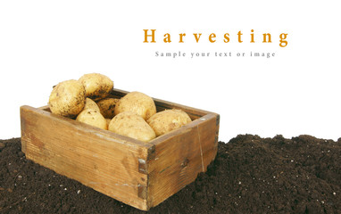 Harvesting. A fresh potato in old box on earth.