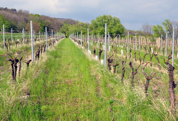 view on vineyard in the spring