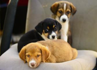 masum köpek yavruları