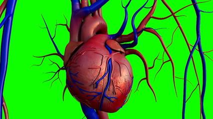 heart, human heart