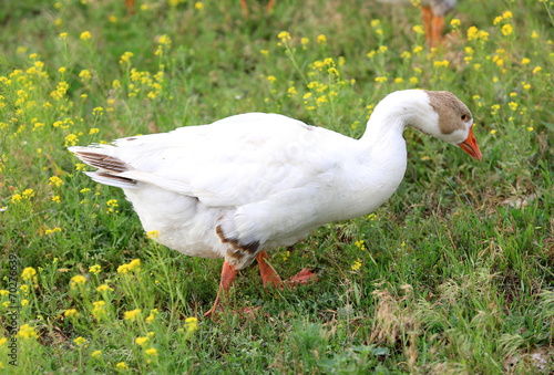 goose on pasture