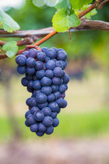 Closeup to Vineyard Grapes
