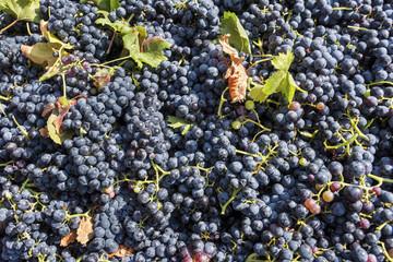 Raisins de vendange