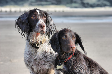 a working type english springer and cocker spaniels sat together