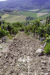 San Gimignano vineyards, Tuscany. Color image