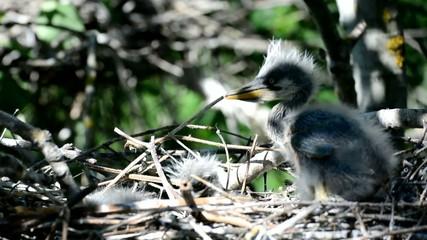Gray heron chicks