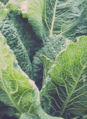 Homegrown Kale