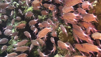 Shoal of Stripped Fish on Coral Reef, Red sea