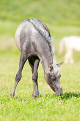 Gray foal of horse eating grass in field