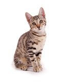 Junge, sitzende Bengalkatze