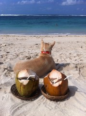 the dog and two coconuts
