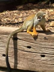 Monkey in the UK zoo
