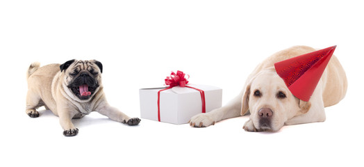 sad dogs (golden retriever and pug dog) with gift box isolated o