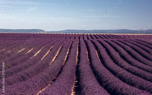 Lavender flowers blooming field © Andrew Bayda