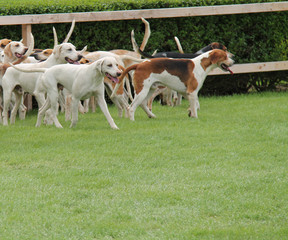 A Pack of Hunting Hounds in a Field Enclosure.