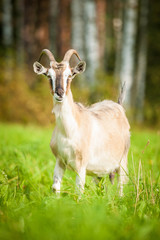 Goat on the pasture